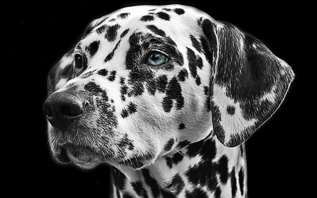 Dalmatian Picture Black and White