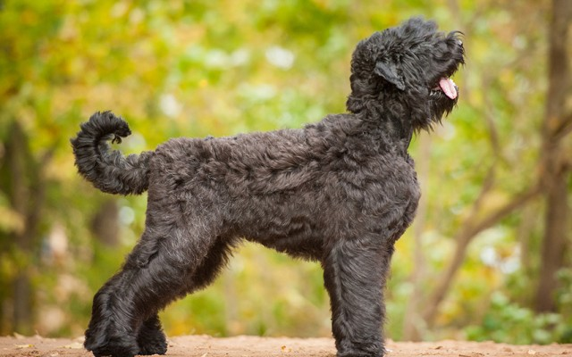 Hardworking and Smart: Introducing the Bouvier Des Flandres