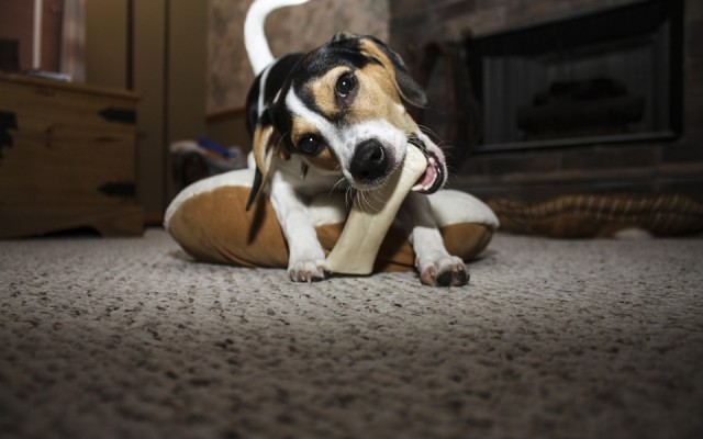 Tips to Stop Dogs from Chewing Everything You Own