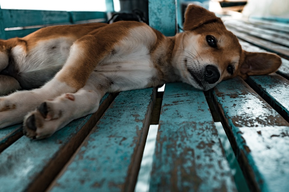 doggielay