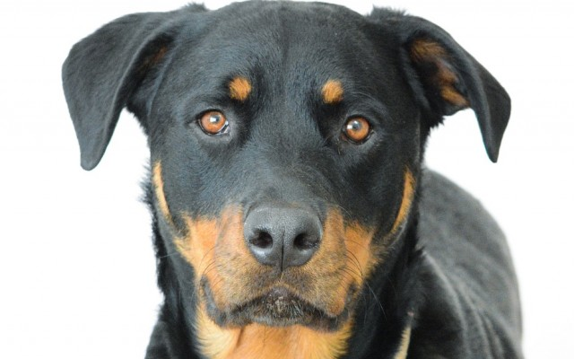 Get to Know the Loyal Rottweiler: Breed Profile