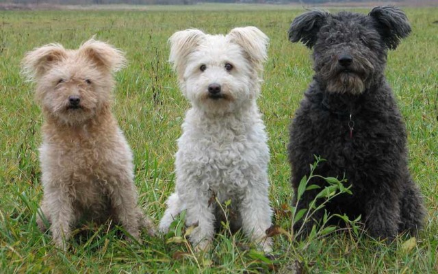A New Breed, the Pumi, Recognized by the AKC
