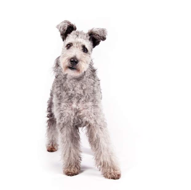 pumi-dog-breed