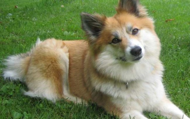 Breed Profile: Icelandic Sheepdogs