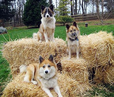 sheepdog4