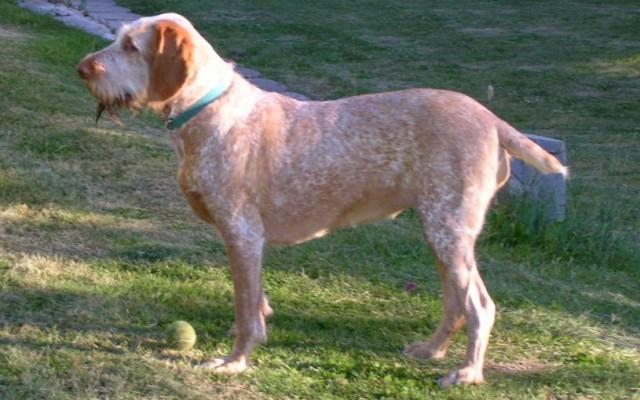 Breed Profile: The Ancient Spinone Italiano