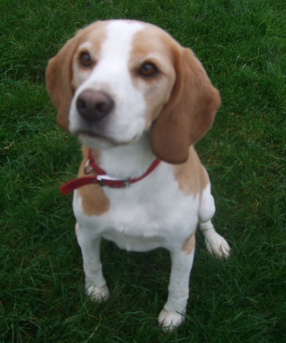 Beagle Puppies For Sale In Italy