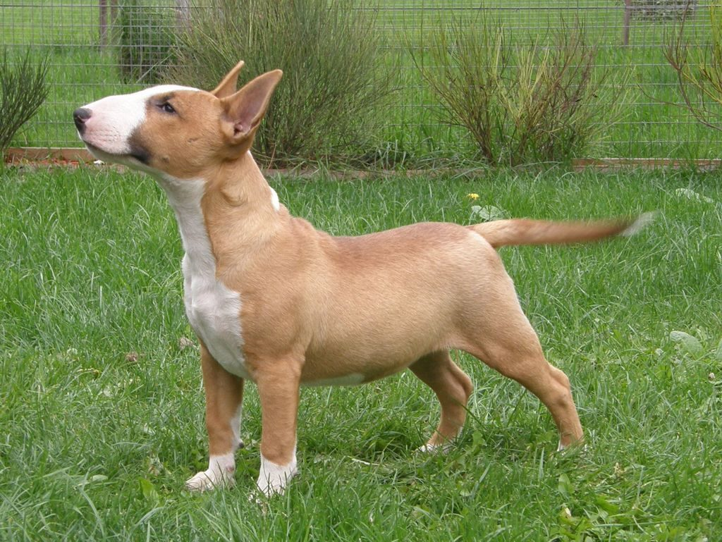 English Bull Terrier Puppies Picture California - Dog