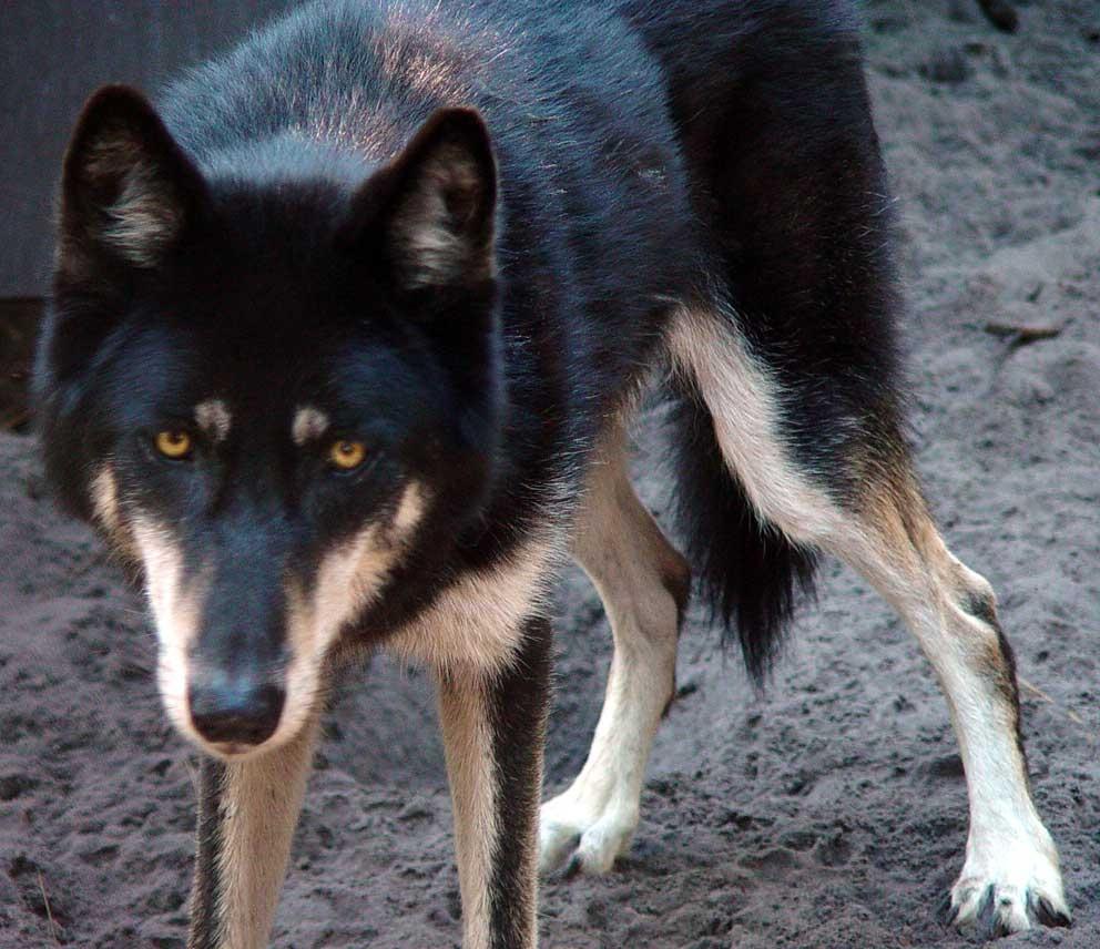 1000+ idéer om Husky Wolf Mix på Pinterest | Siberian ...  |Black Siberian Husky Wolf Mix