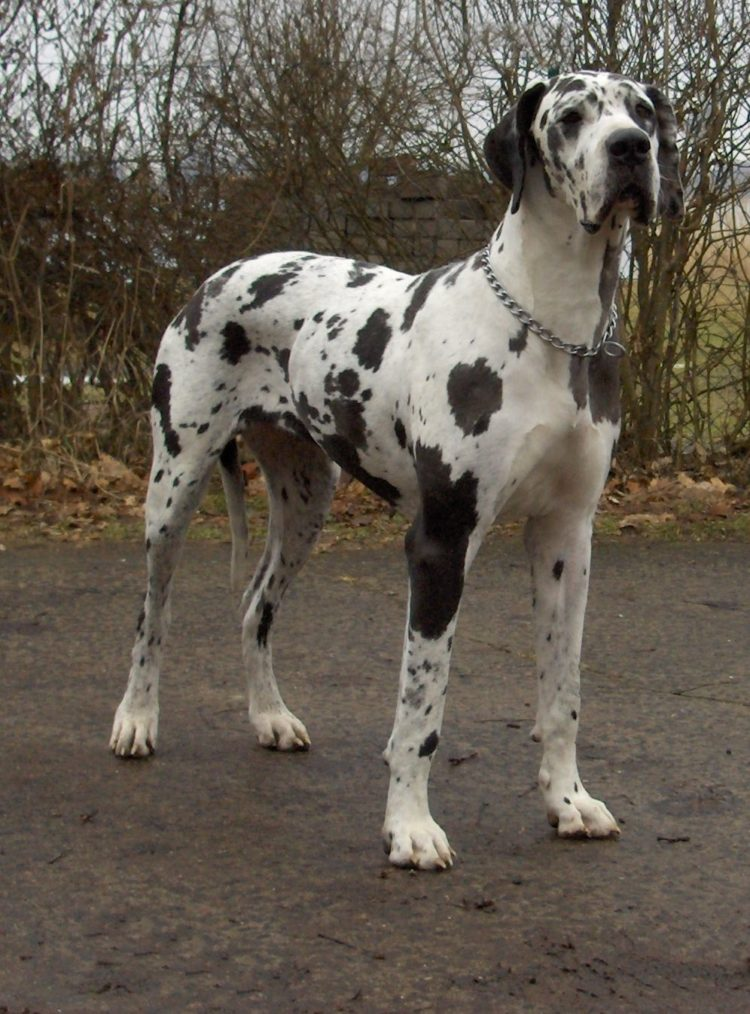 great dane mastiff mix puppies picture dog breeders guide