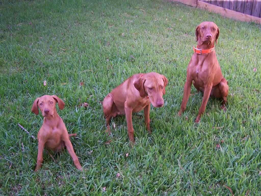 Vizsla Puppies Picture...