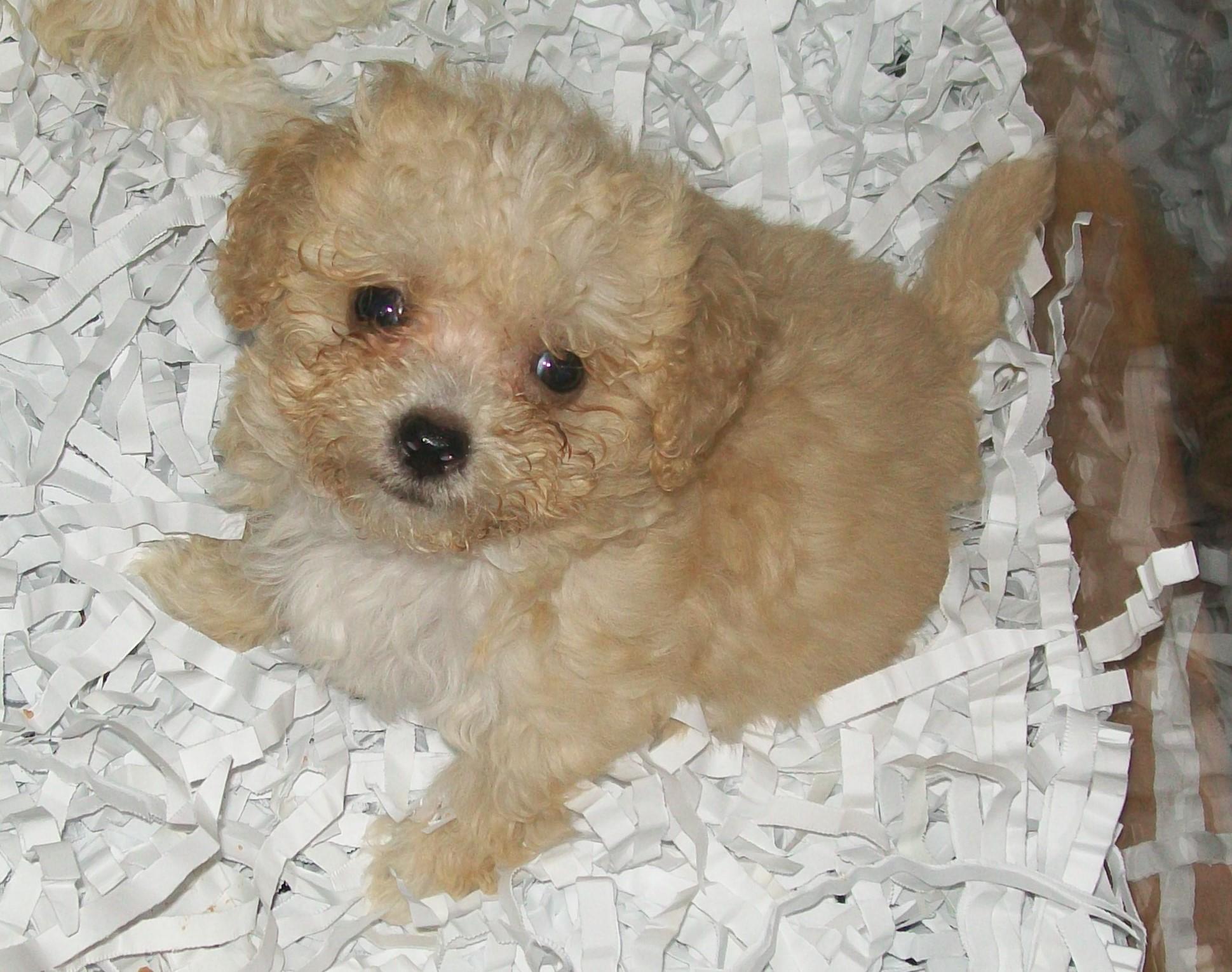 Adorable-brown-maltese-wallpaper - Dog Breeders Guide  Adorable-brown-...