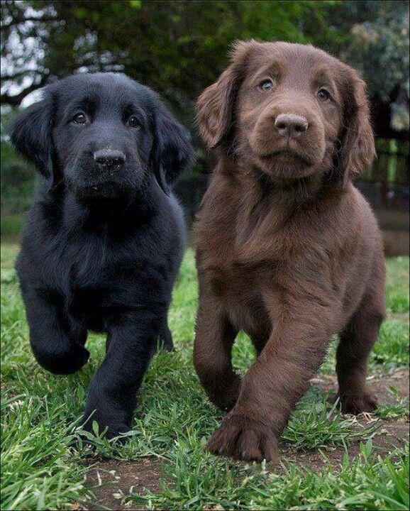 black and brown labrador retrievers puppy - Dog Breeders Guide