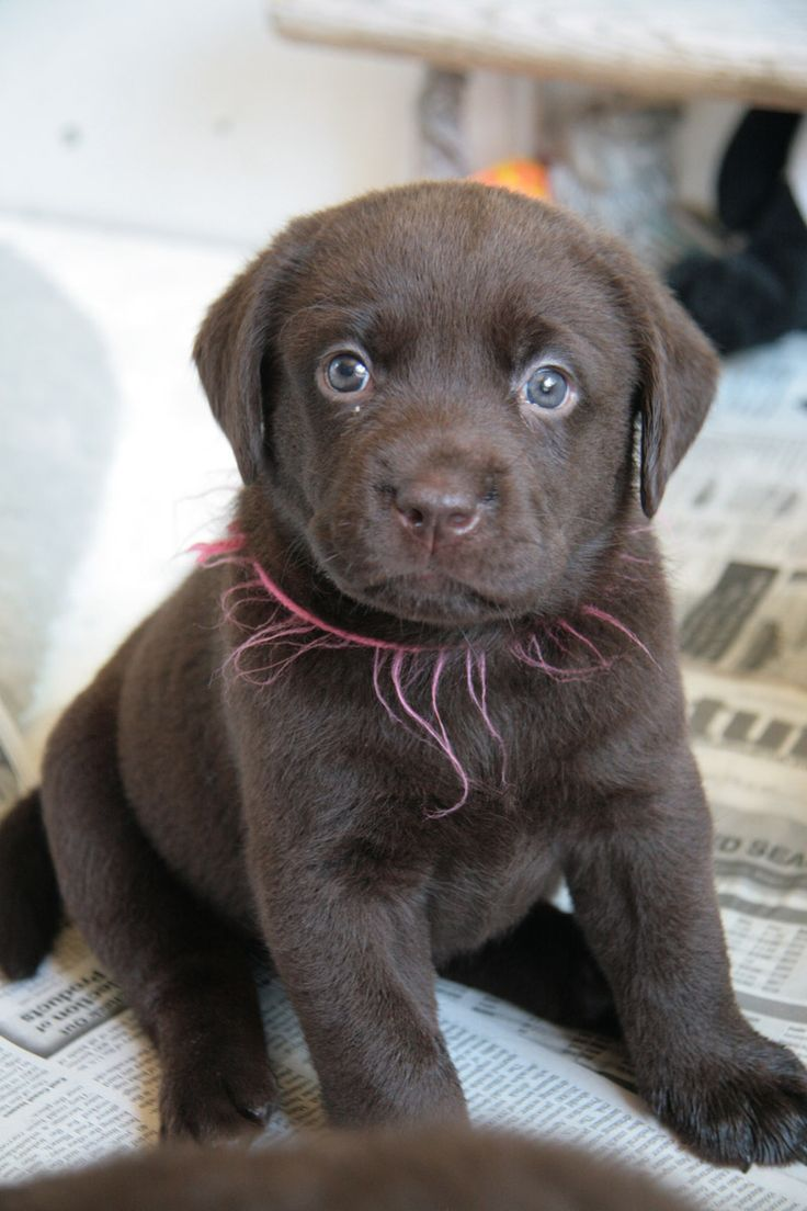 Labrador Puppy For Sale In Japan