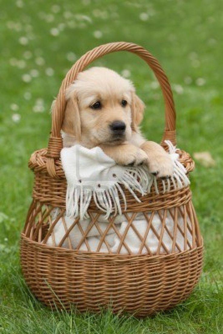in the garden sitting in bucket golden retriever picture ...
